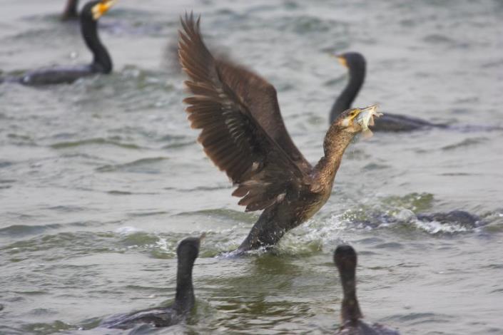 銀牌獎-捕魚中的鸕鶿-林政道