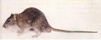 衛生局-老鼠之照片