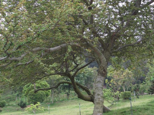 兩棵綠意盎然的金龜樹交疊相錯,織成一幅如熱戀情人般在青草地上婆娑起舞的畫面,令人神動不已。