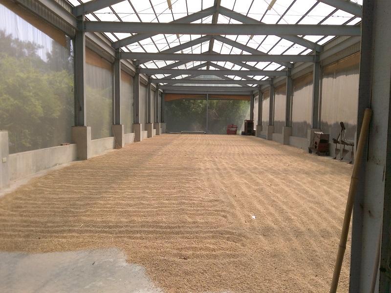 農試所-小麥收穫後放置陰乾
