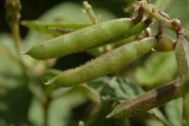 農試所-闊葉大豆照片之04