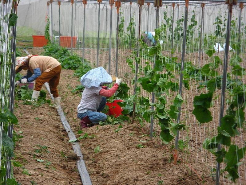 農試所-稜角絲瓜整枝引蔓及理蔓