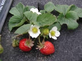 農試所-草莓結果成熟期照片