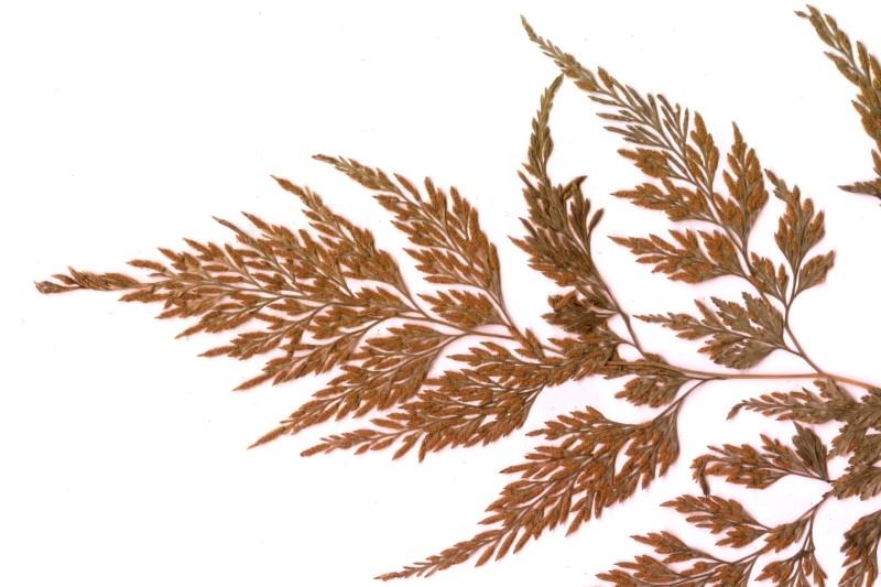 農試所-日本金粉蕨照片之04