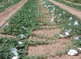 農試所-西瓜新品種引種栽培及套袋作業照片