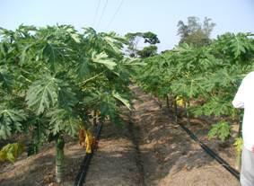 農試所-木瓜推廣栽培照片
