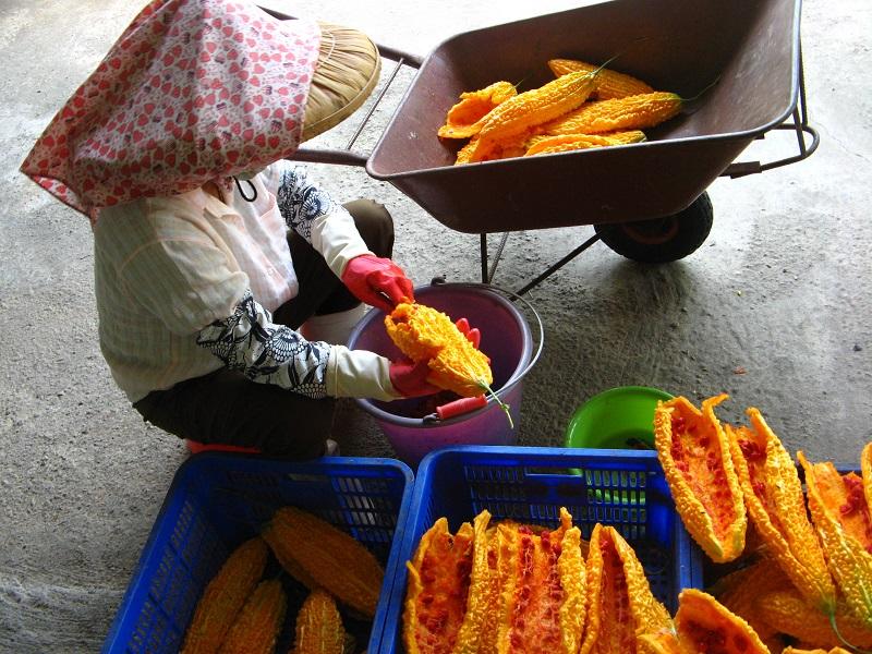 農試所-採種用苦瓜進行人工採種