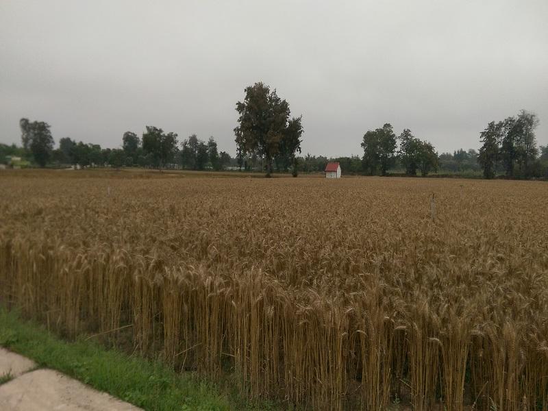 農試所-小麥成熟期