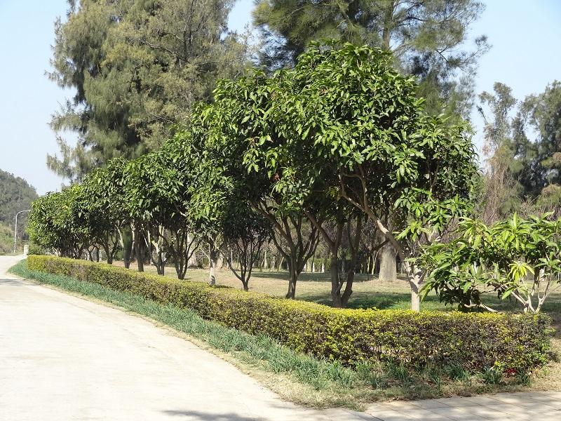 農試所-芒果栽培試驗區