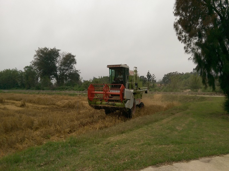 農試所-小麥機械收割情形