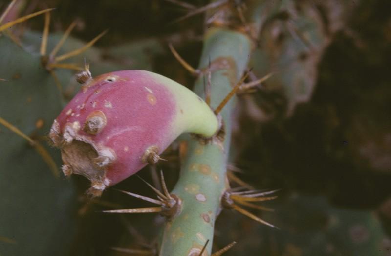 農試所-仙人掌照片之06