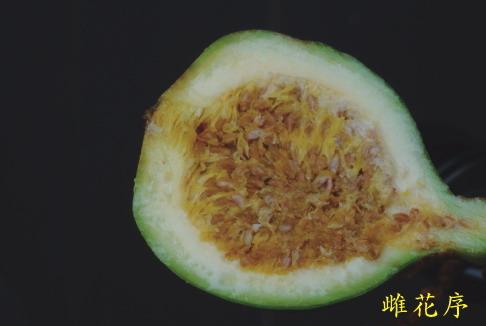 薜荔-雌花序