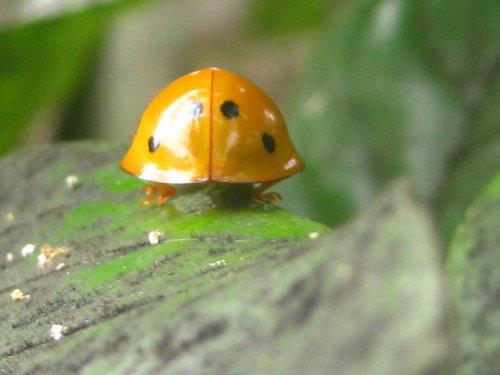 十斑大瓢蟲-安全帽似的殼