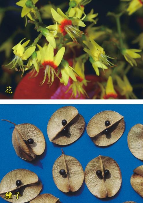 台灣欒樹-花.種子