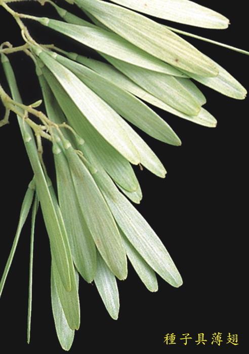 光蠟樹-種子