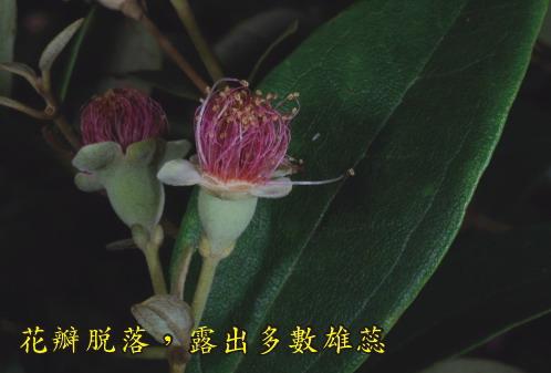 姚金孃-花瓣