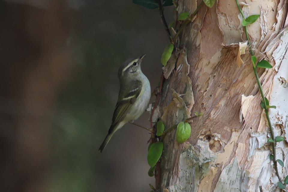 極北柳鶯是雀形目鶯科的冬候鳥過境鳥,身形嬌小好動,穿梭在樹葉枝椏間尋找小昆蟲為食