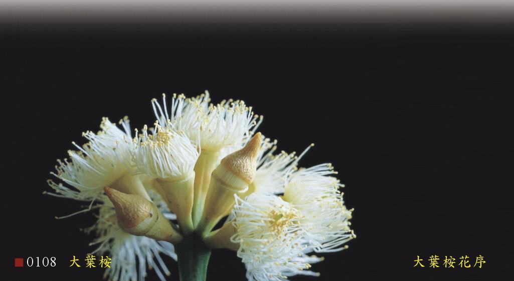 大葉桉花序