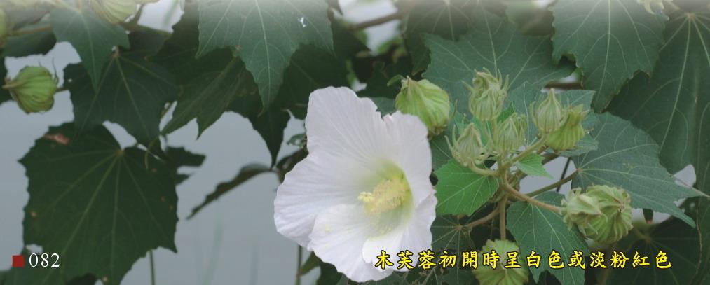 木芙蓉初開時呈白色或淡粉紅色