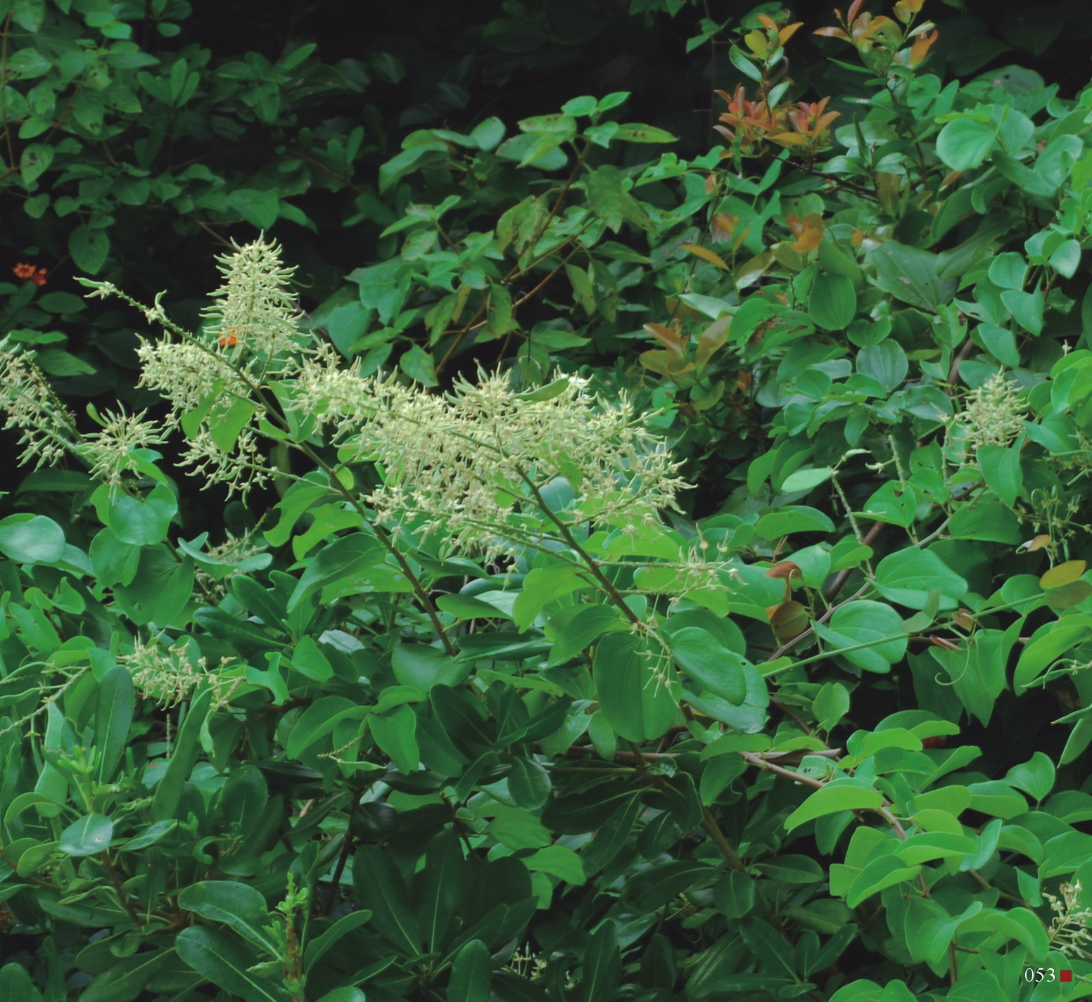 菊花木因其莖橫斷面呈菊花紋而得名,多出現在低海拔的山區