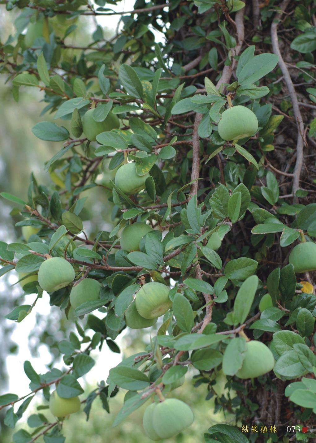 薜荔-結果植株