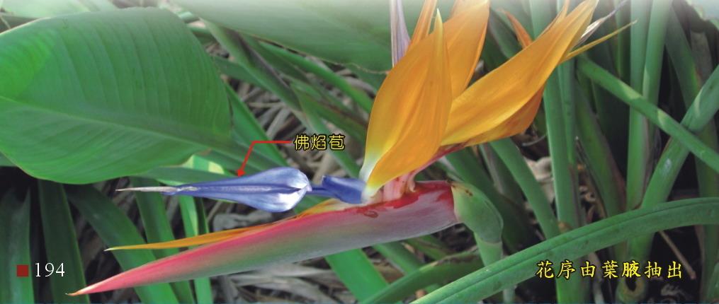 花序由葉腋抽出