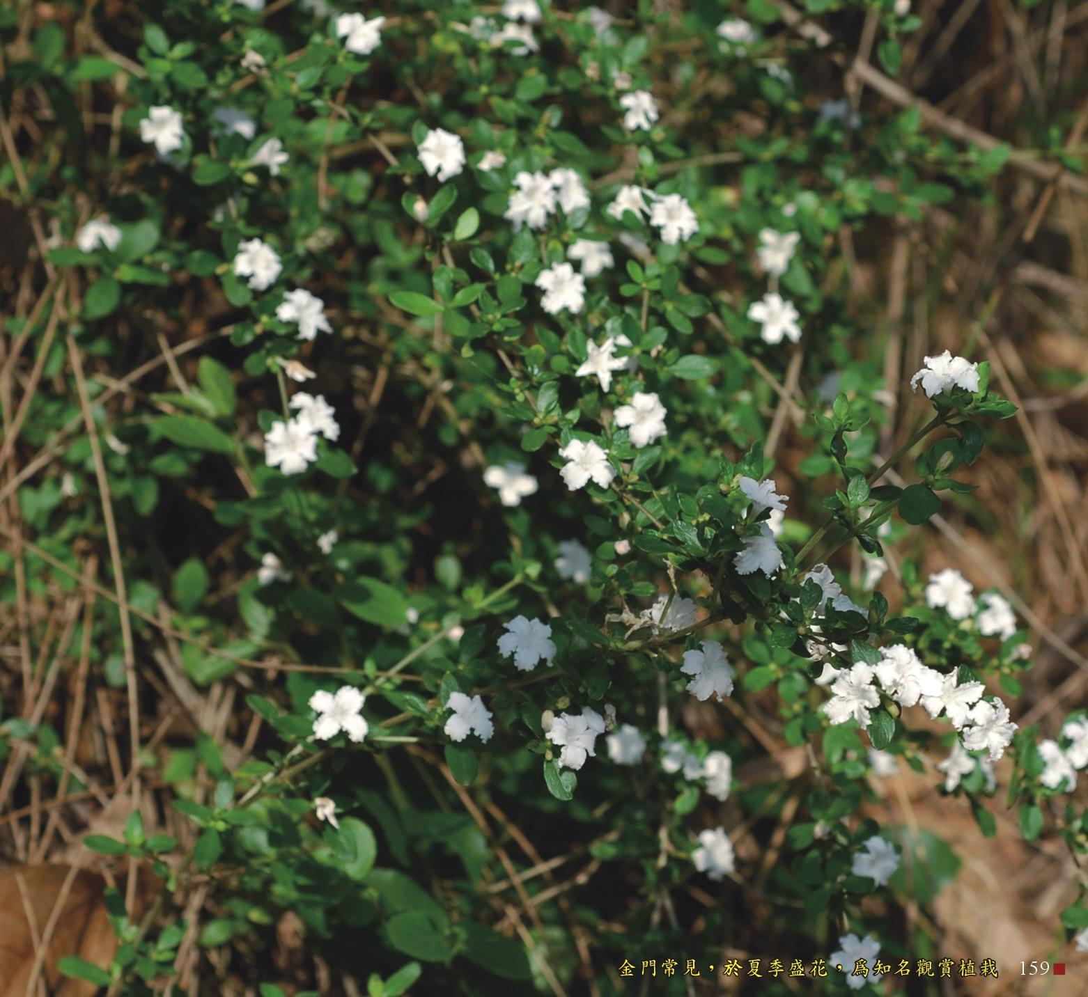 金門常見,於夏季盛開,為知名觀賞植栽