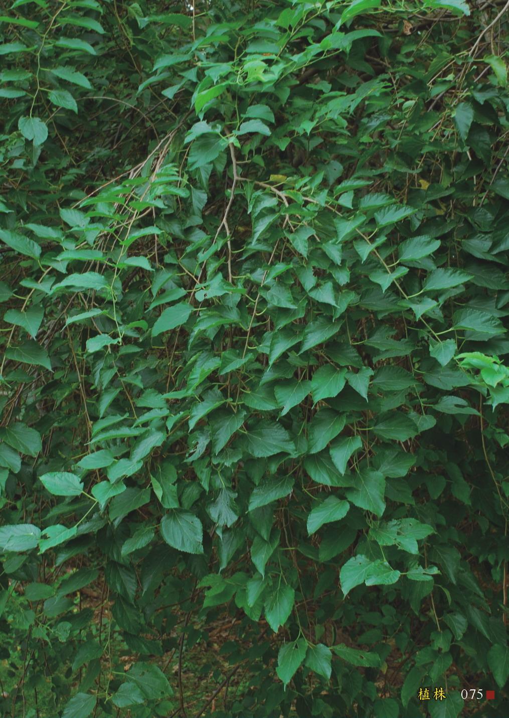 小葉桑-植株