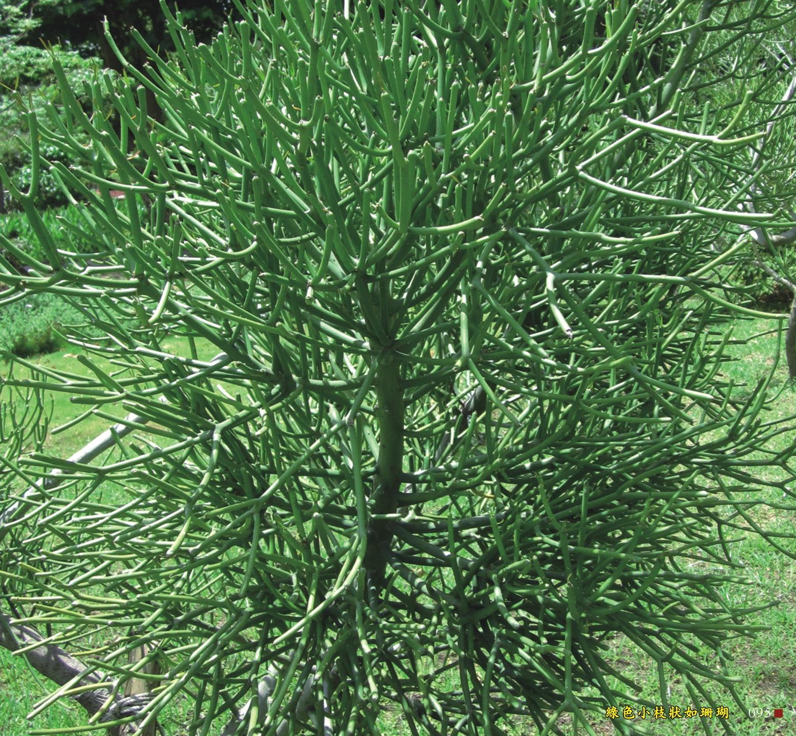 綠色小枝狀如珊瑚