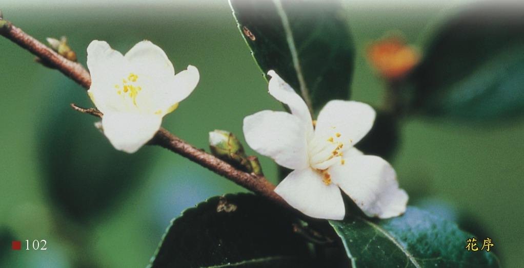 油茶-花序