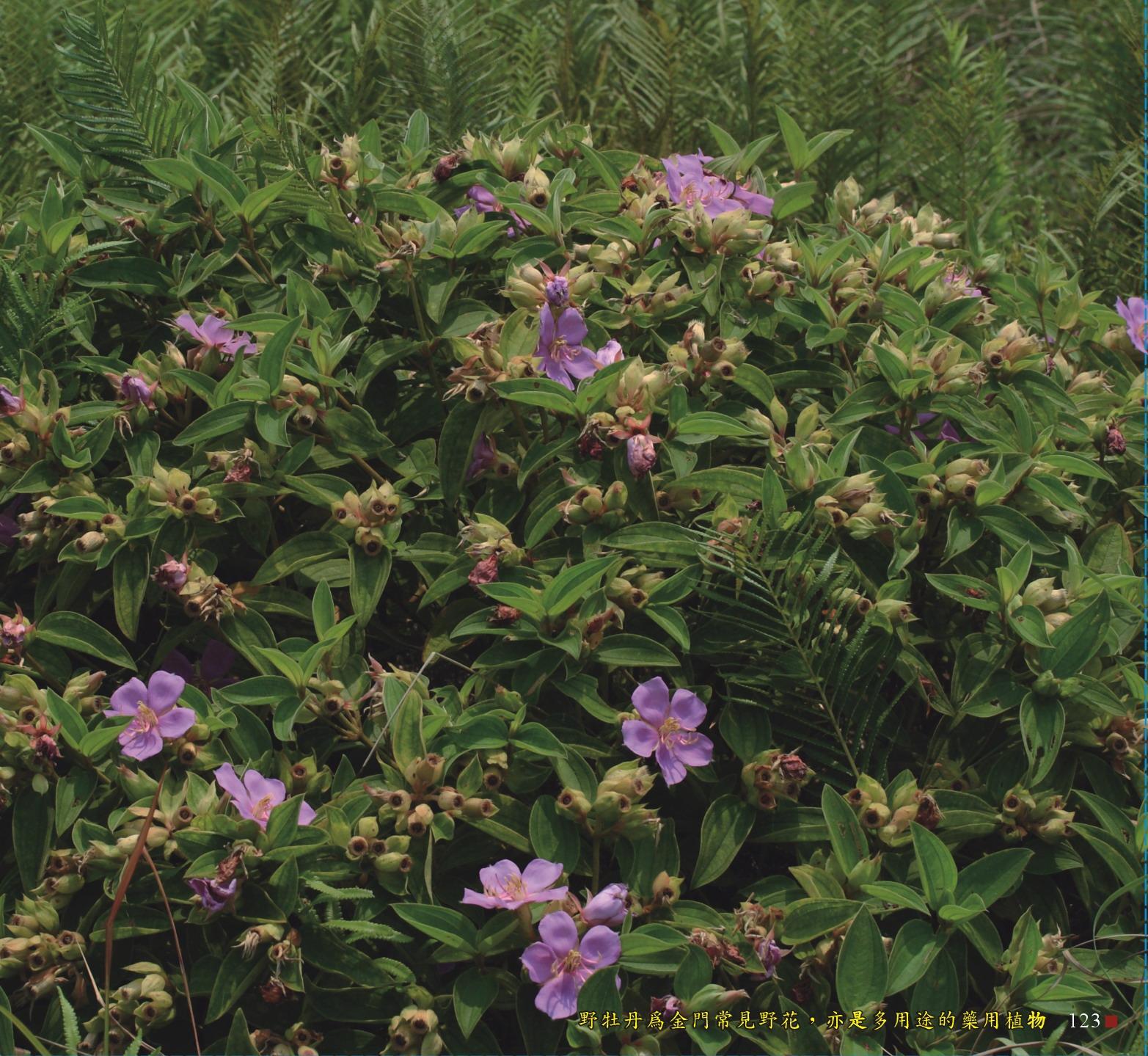 野牡丹為金門常見的野花,亦是多用途的藥用植物