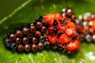 厲椿象-1Eocanthecona concinna 若蟲與蟲卵