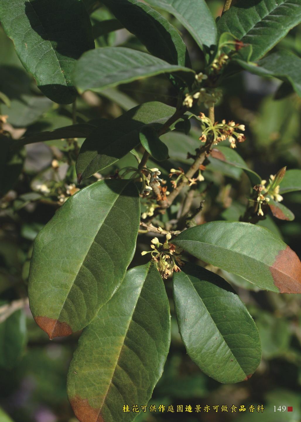 桂花可供作為庭園造景亦可做為食品香料
