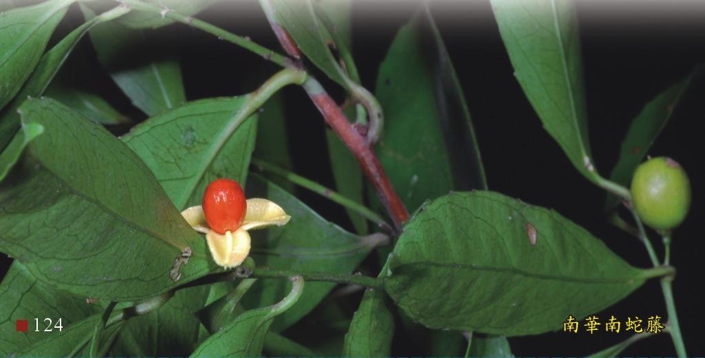 南華南蛇藤