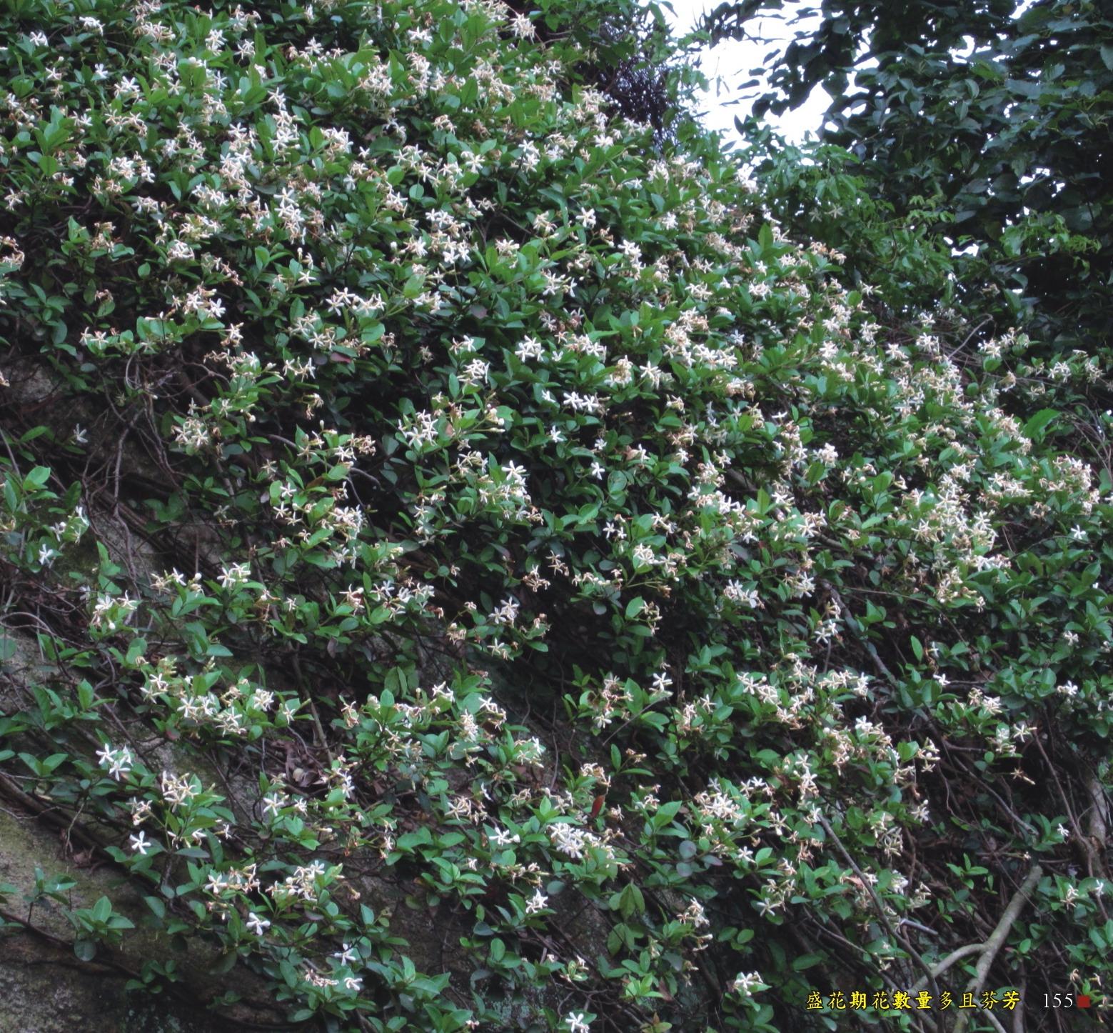 盛花期花數量多且芬芳