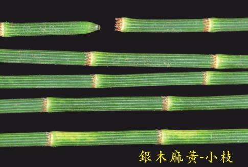 銀木麻黃-小枝