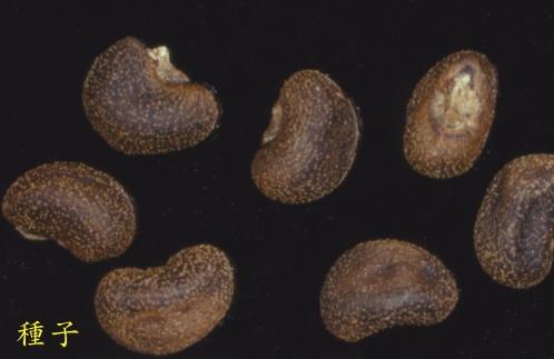 黃槿-種子