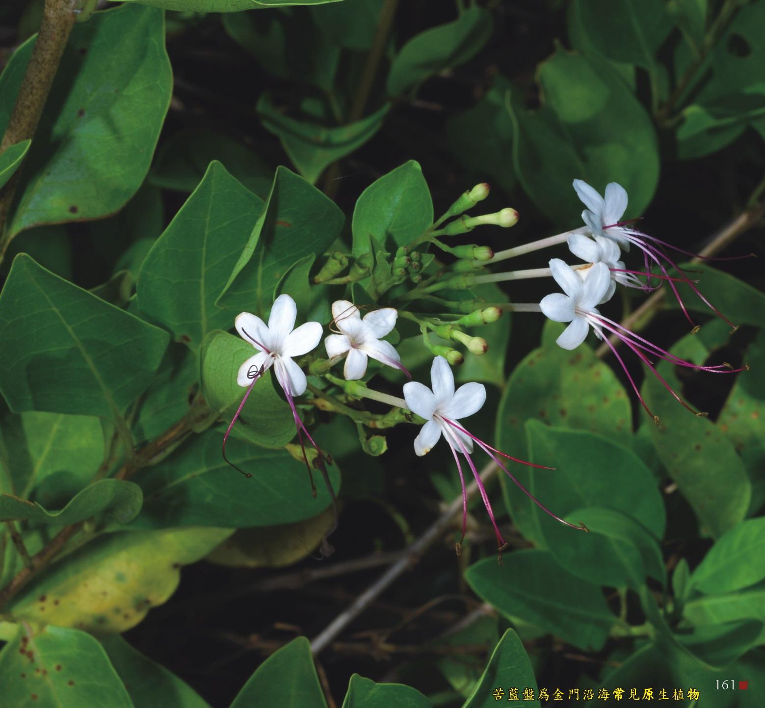 苦藍盤為金門沿海常見原生植物