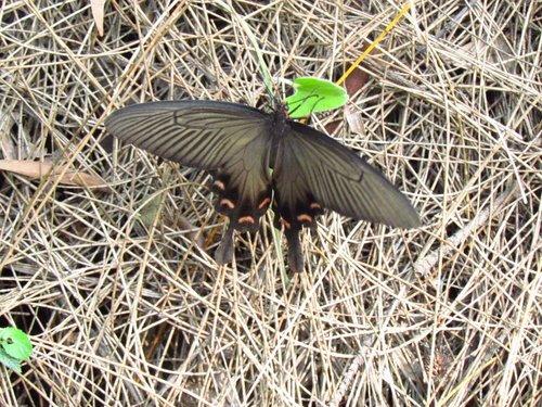 麝香鳳蝶-嘗試飛行