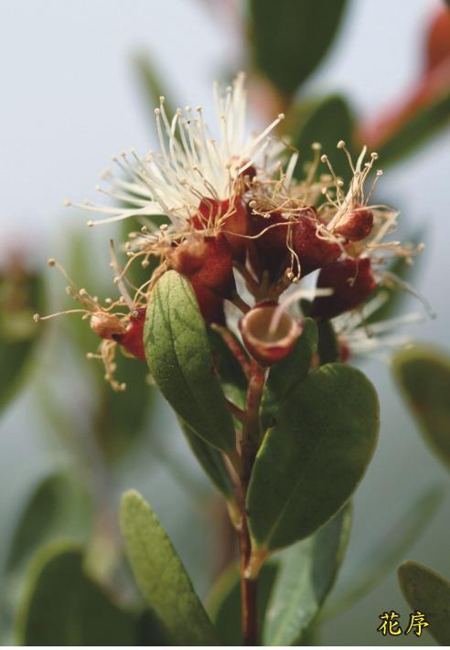 小葉赤楠-花序