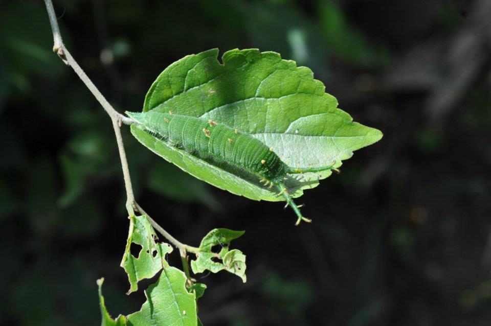 紅星斑蛺蝶-幼蟲
