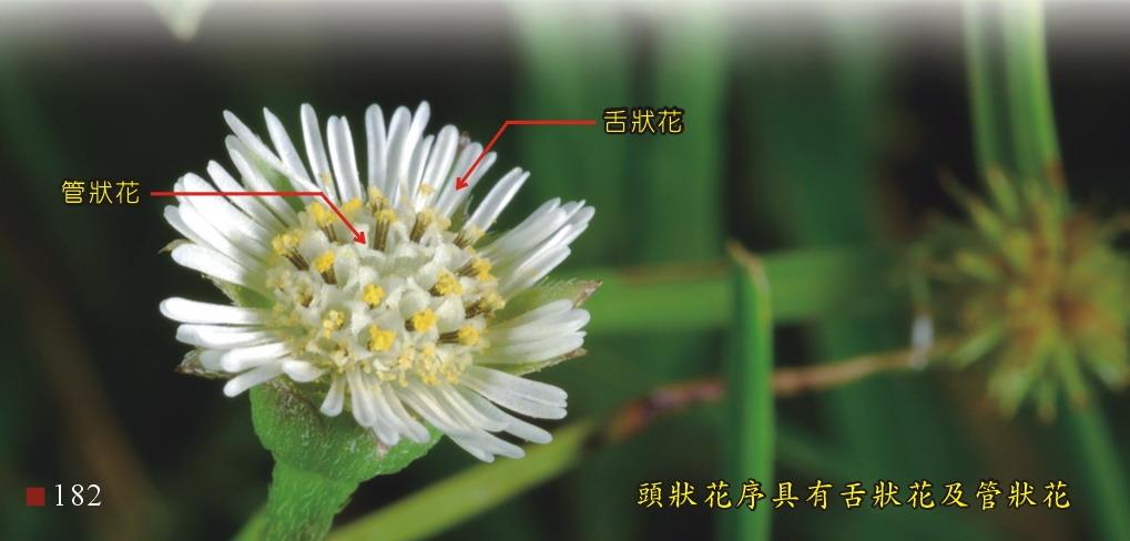 頭狀花序具有舌狀花及管狀花