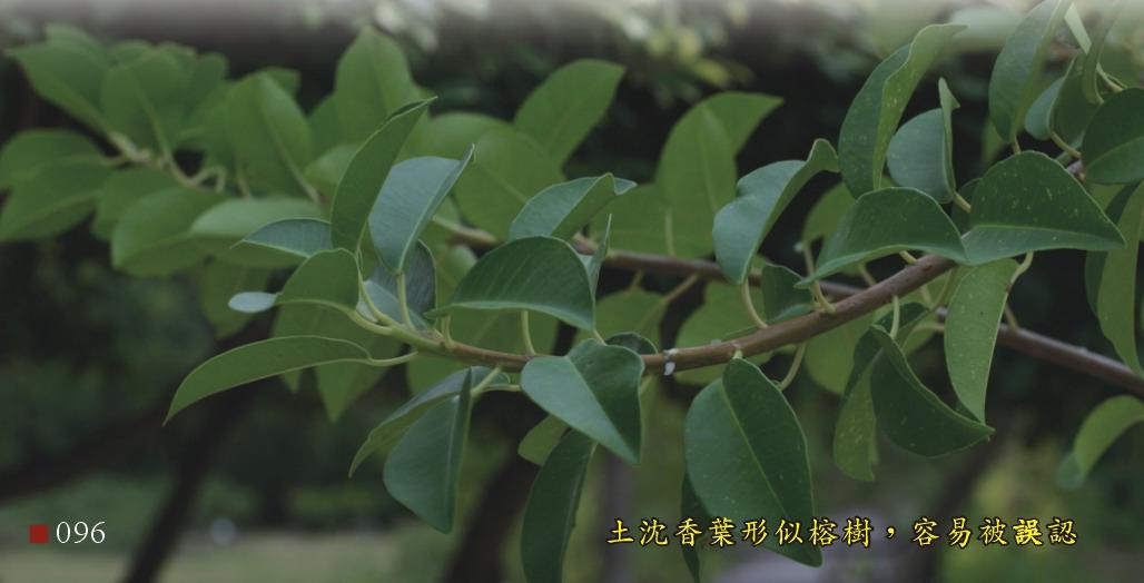 土沉香葉形似榕樹,容易被誤認
