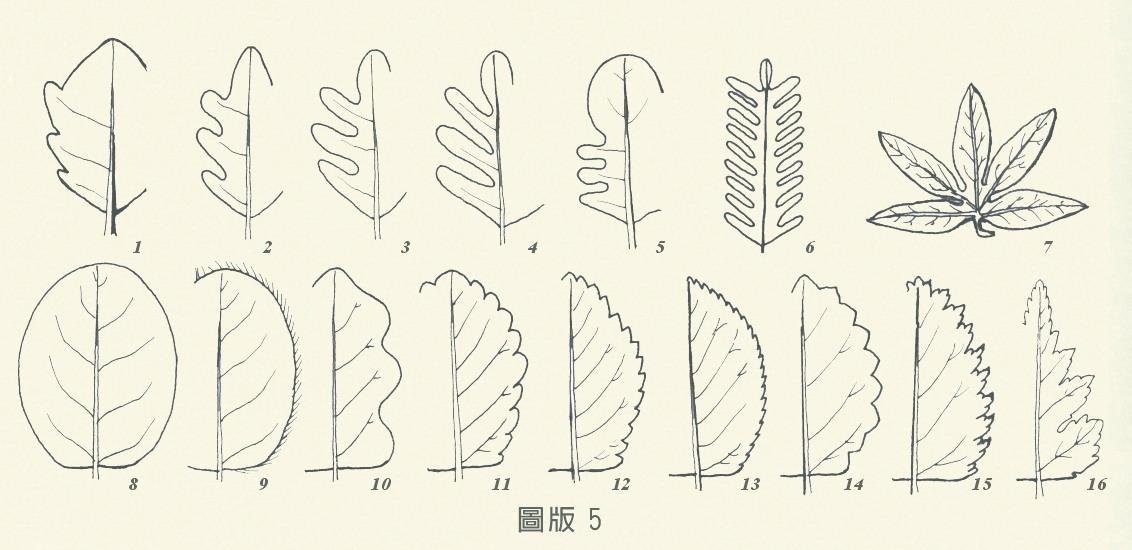 葉緣-圖版5