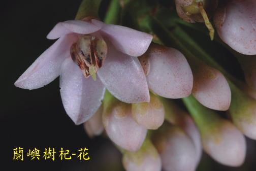 蘭嶼樹杞-花