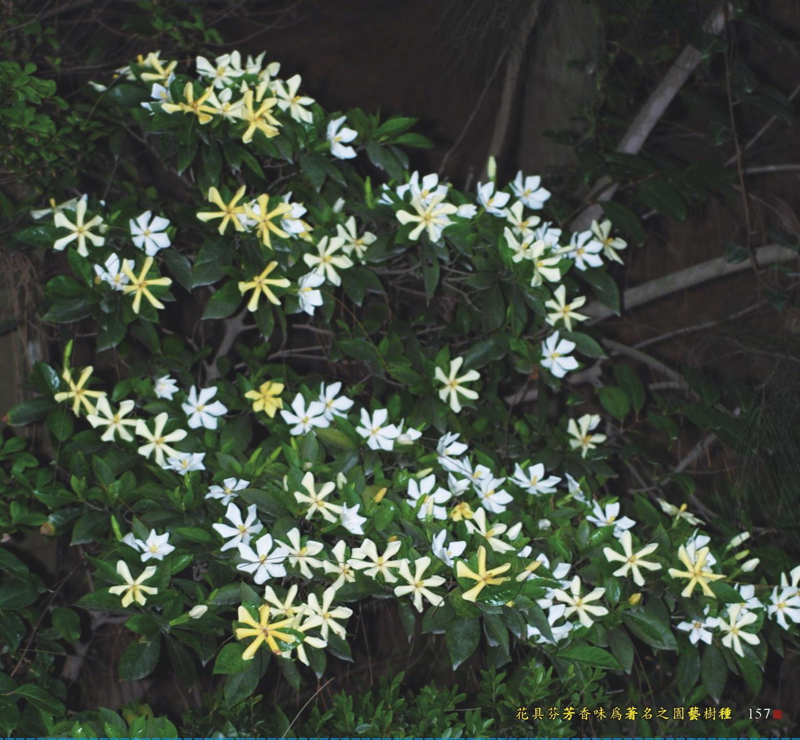 花具芬芳香味為著名之園藝樹種