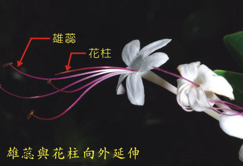 苦藍盤-雄蕊與花柱