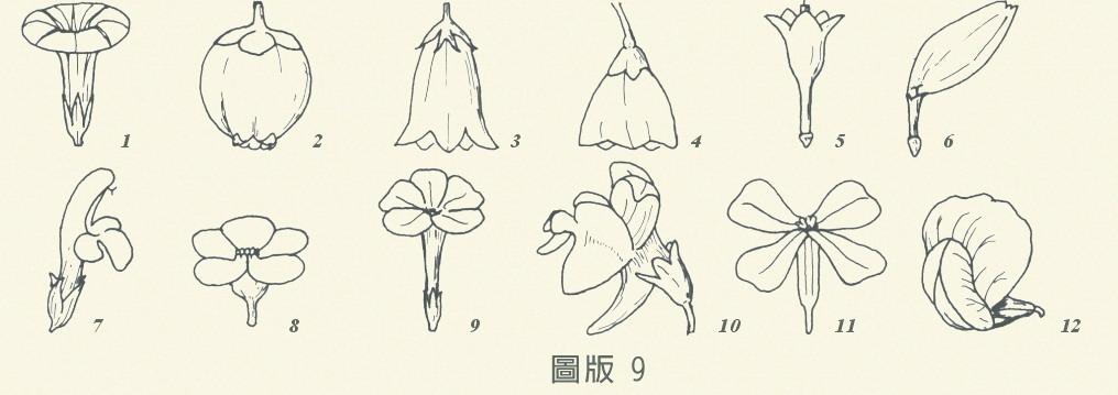 花冠-圖版9