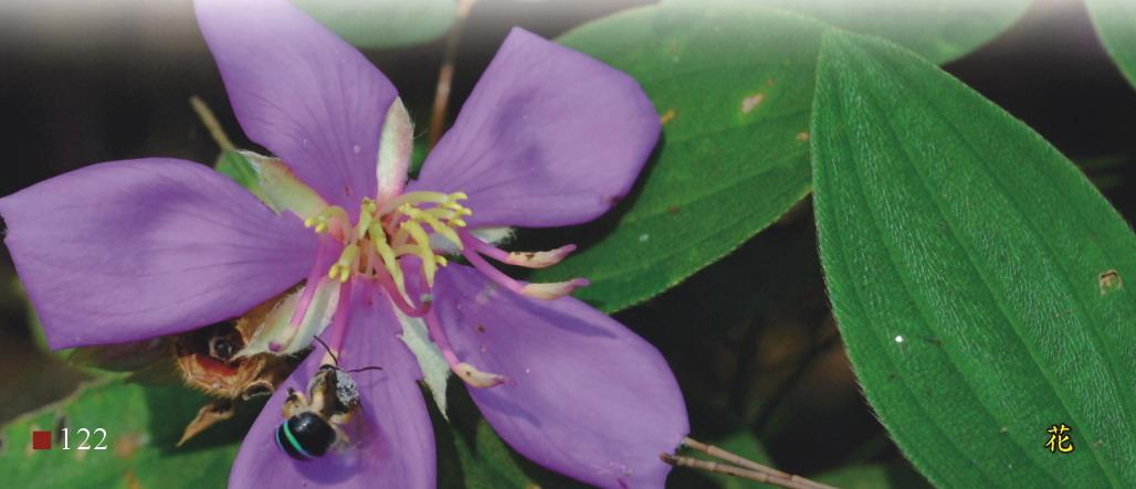 野牡丹-花