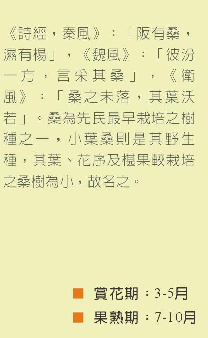 小葉桑-文